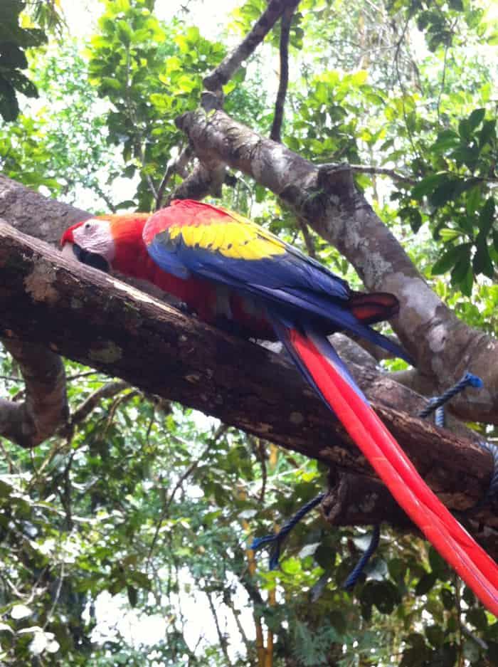 Scarlet macaw.