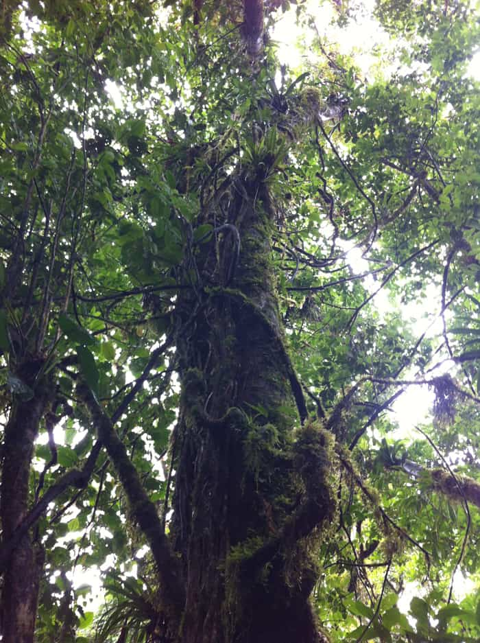 A tree covered with epiphytes.