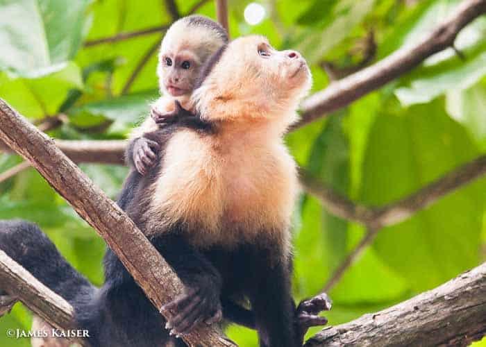Capuchin monkey baby.