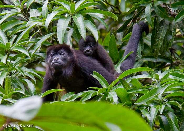 Howler monkey mom and baby.
