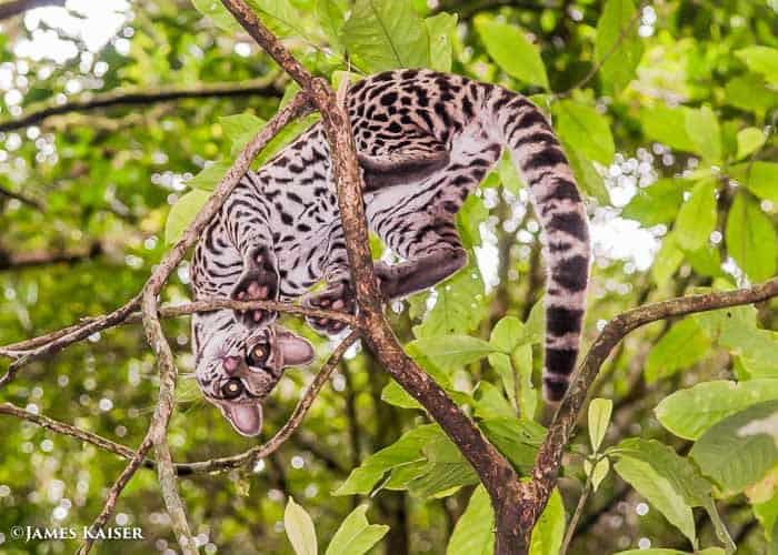 Young margay cat.