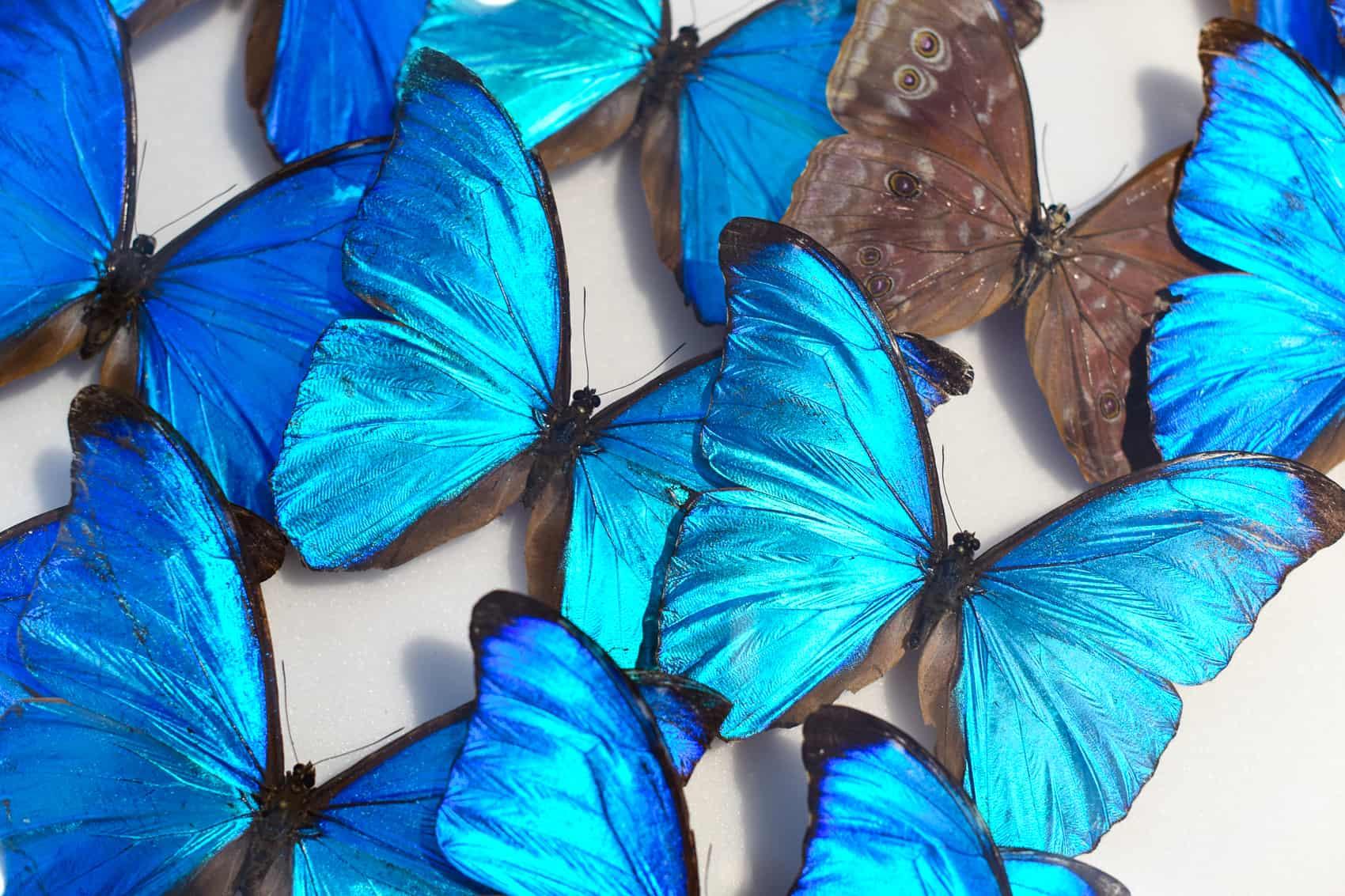 Costa Rican Morpho butterflies.
