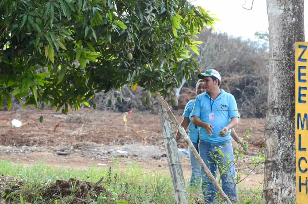 Nicaraguans pick mangos from a tree located at the border fence between Costa Rica and Nicaragua at Las Tablillas Checkpoint.