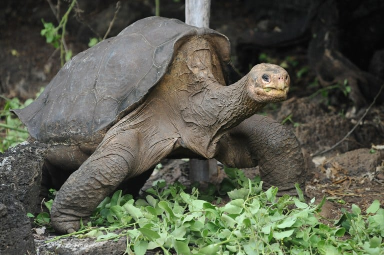 Lonesome George, the last known individual of the Pinta Island Tortoise, subspecies Geochelone nigra abingdoni, walks around Galapagos National Park's breeding center in Puerto Ayora, Santa Cruz island, in the Galapagos Archipelago, on April 19, 2012. Lonesome George died and left the world one subspecies poorer. The only remaining Pinta Island giant tortoise and celebrated symbol of conservation efforts in the Galapagos Islands passed away Sunday with no known offspring, the Galapagos National Park in Ecuador said in a statement. Estimated to be more than 100 years old, the creature's cause of death remains unclear and a necropsy is planned. AFP PHOTO/RODRIGO BUENDIA
