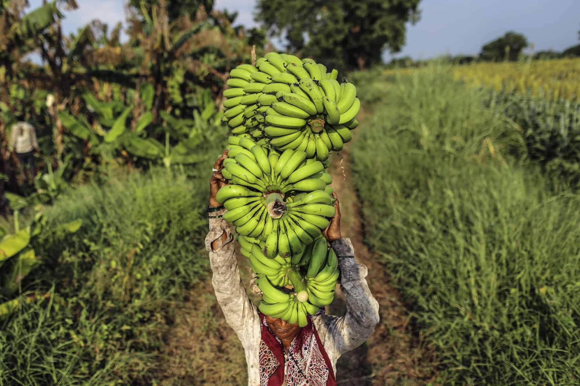A day laborer carries bananas on her head during harvest in Bhusawal, Maharashtra, India.