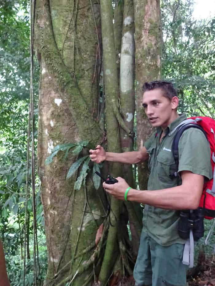 Tomas Ridings explains how strangler figs suffocate and kill trees to become their own trees.