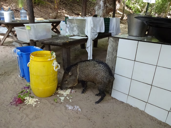 Filomena the friendly peccary.