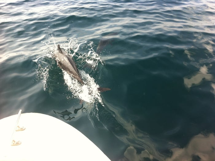 Dolphins swim with our boat.