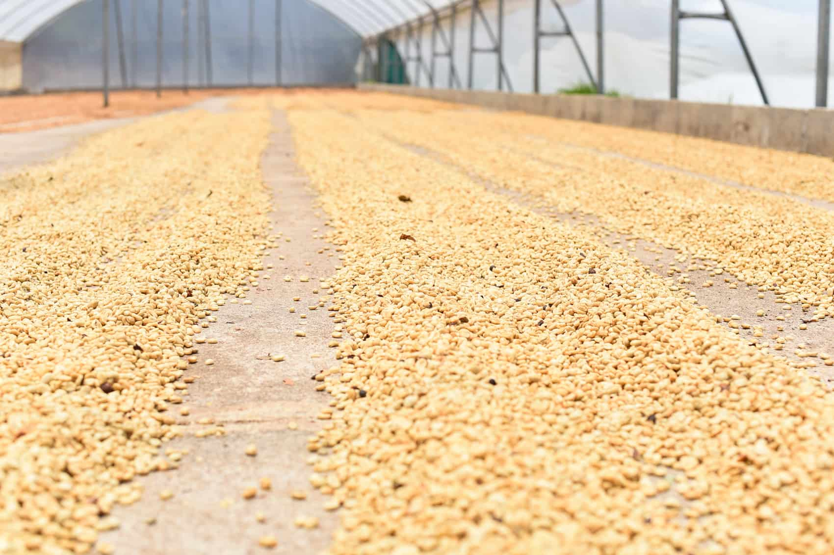 Costa Rica coffee drying at the Vista al Valle micro-mill in Lourdes de Cirrí, in Naranjo, Alajuela.