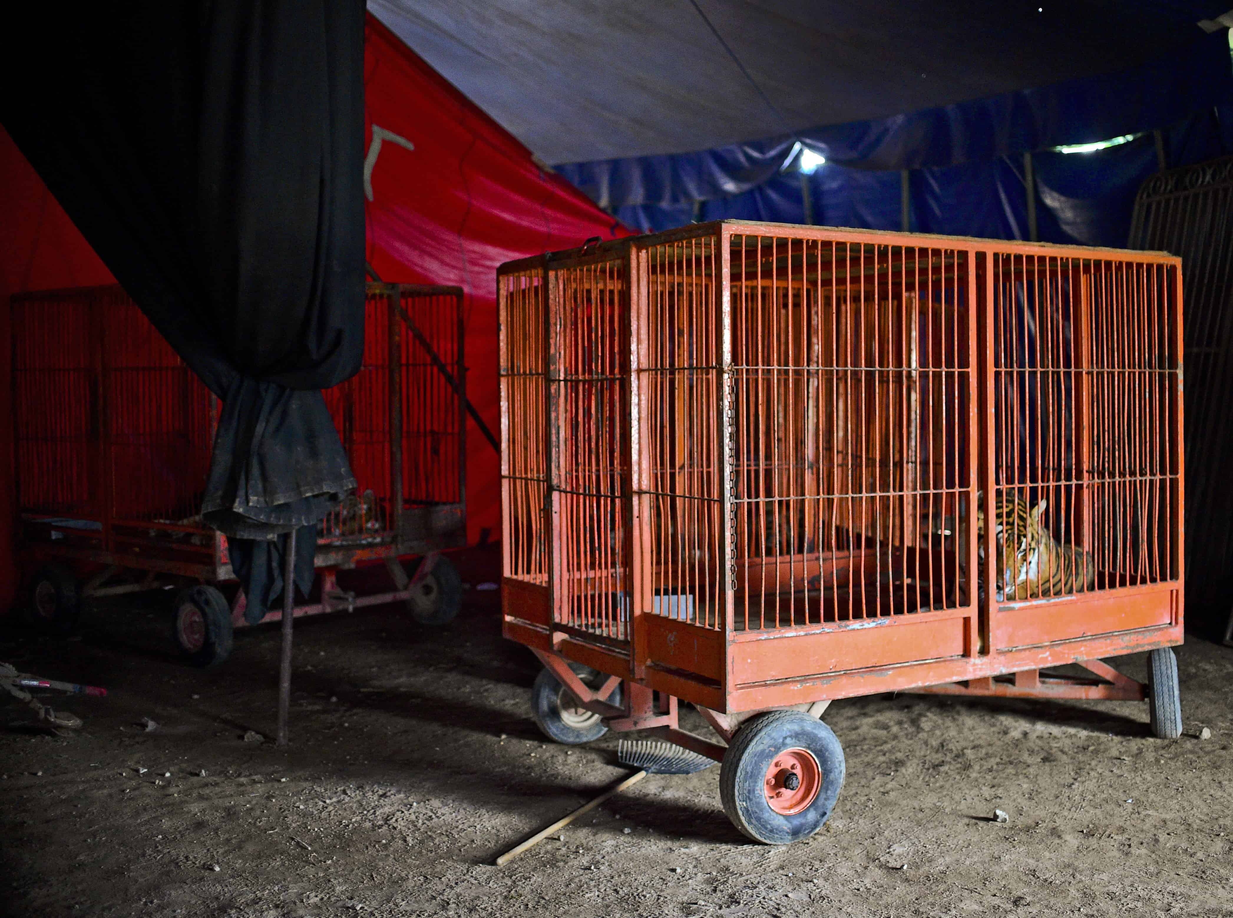 "A tiger is seen in a cage at the ""Hermanos Cedeño"" circus in Chimalhuacán, Mexico, on July 7, 2015."