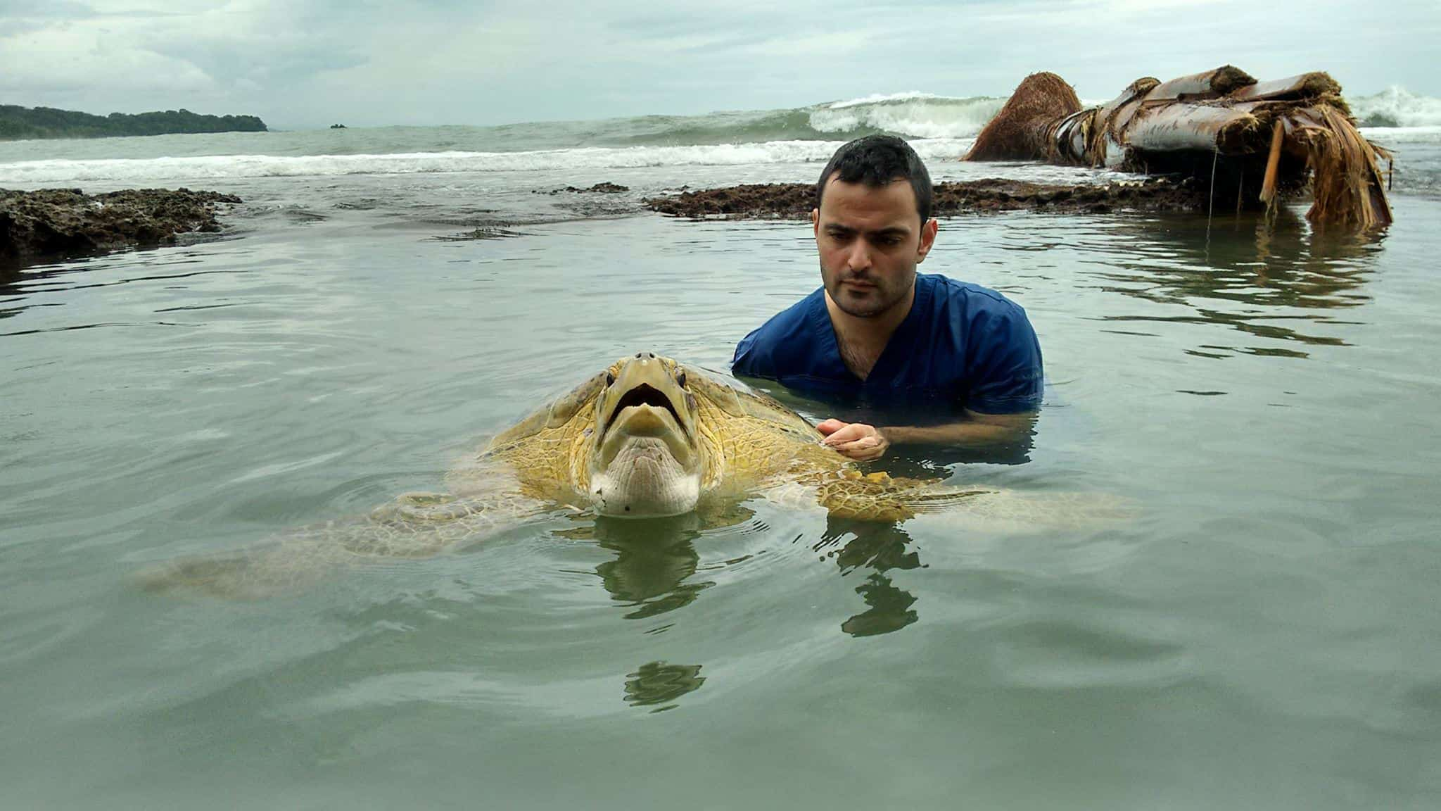 Veterinarian Fernando Alegre with an injured 100-kg green sea turtle at the Jaguar Rescue Center in Puerto Viejo, Limón, July 14, 2015.