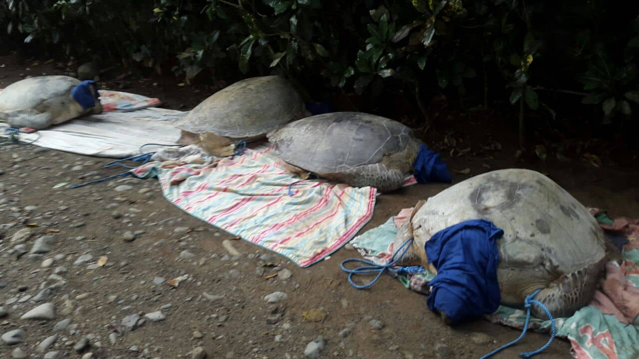 Four of the five green sea turtles (Chelonia mydas) rescued on July 22, 2015 near Moín beach.