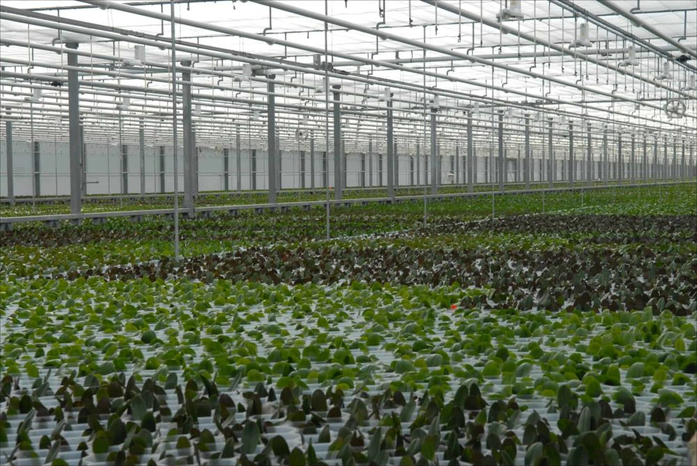 Orchids grow in a vast, temperature-controlled greenhouse at Ter Laak Orchids in Wateringen, Netherlands, 2015.