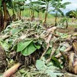 Flood damage at a banana plantation in Matina, Limón.