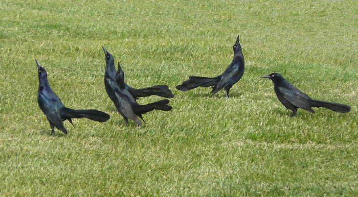 Great-tailed grackles in breeding display