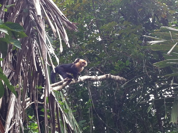 A capuchin monkey with a baby on her back suddenly spots a tourist.