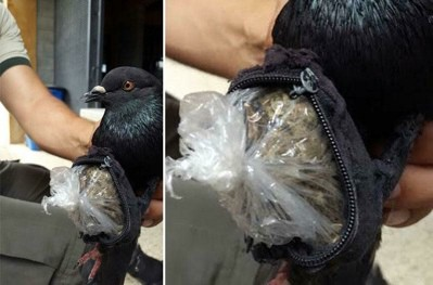Prison police at La Reforma penitentiary captured this pigeon carrying marijuana and cocaine on August 11, 2015.