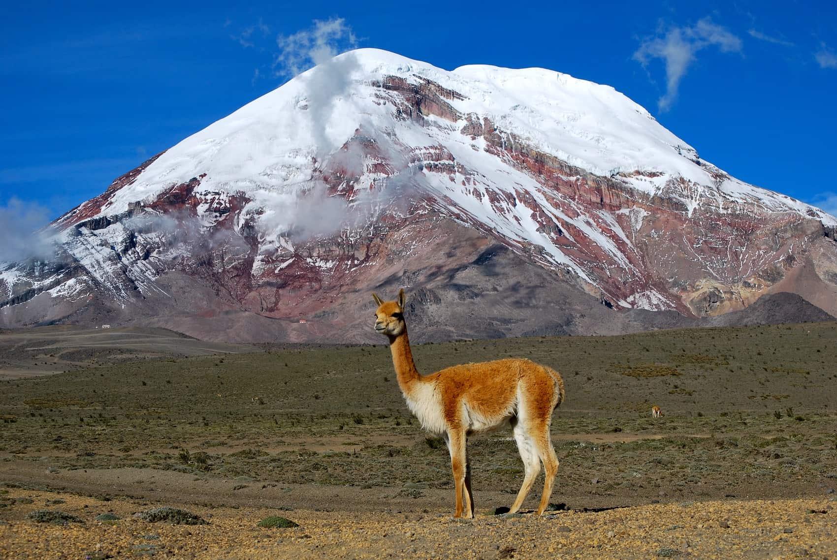 A vicuña stands in front of Ecuador's Chimborazo Volcano.