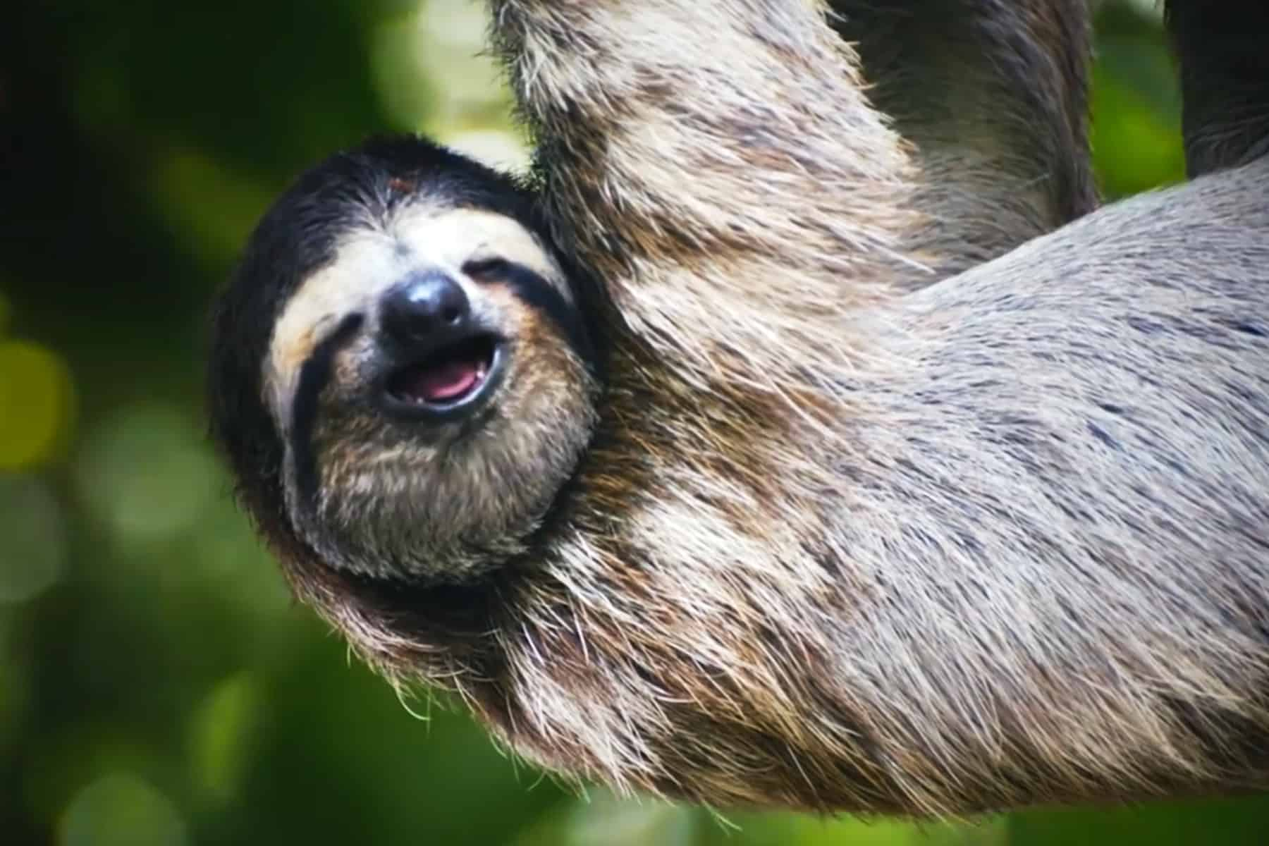 Singing sloth from ICT's TV spot