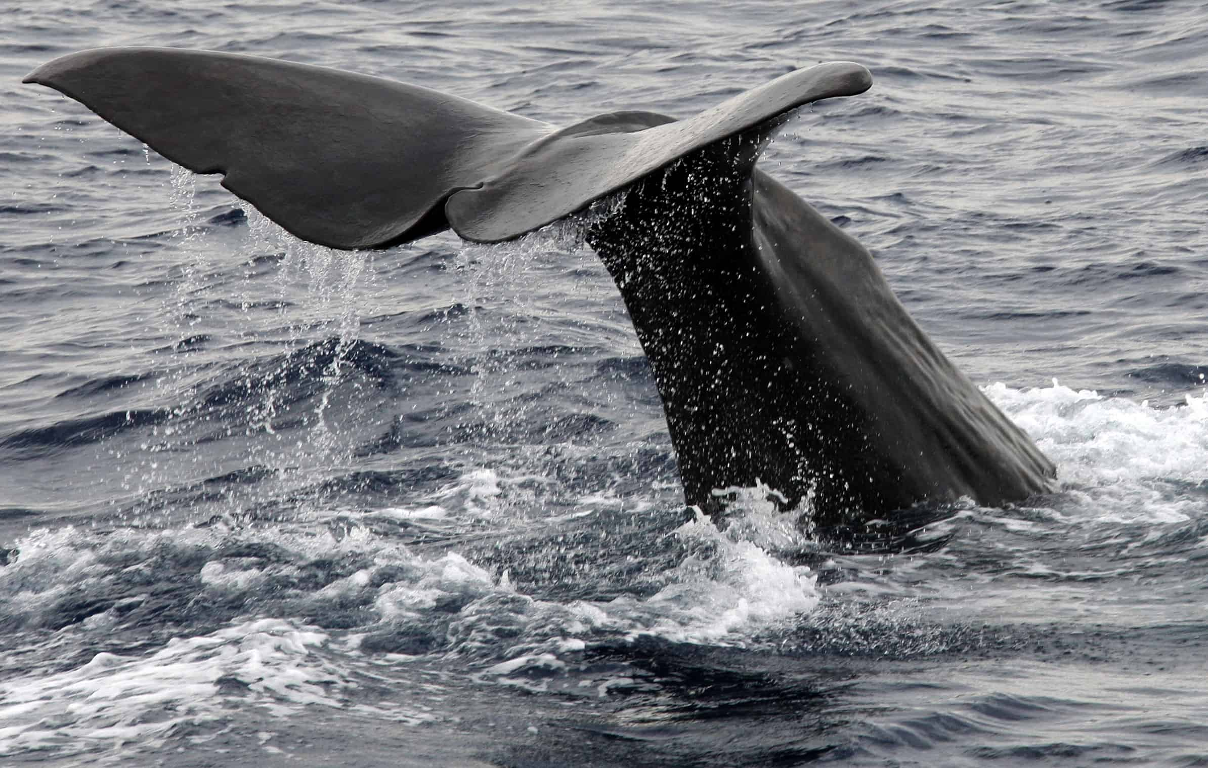 An 18-meter-long sperm whale swims in the Mediterranean.