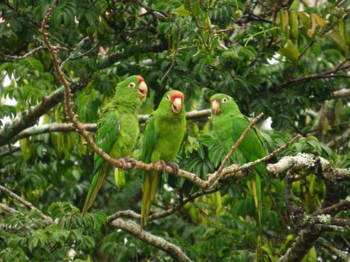 Crimson-fronted Parakeets perched