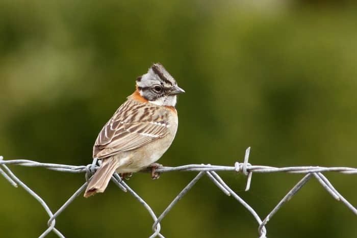 Rufous-collared Sparrow perched on fence