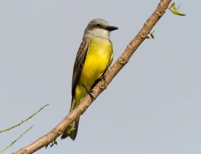Tropical Kingbird perched on branch
