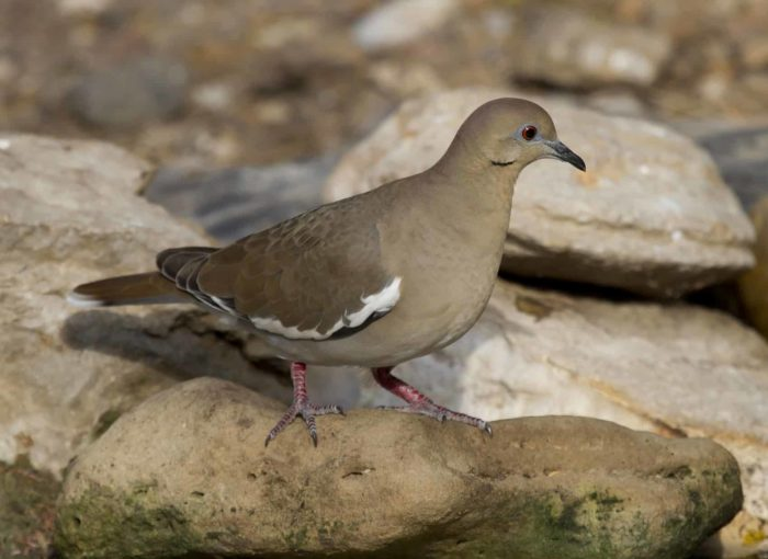 A White-winged Dove on a rock.