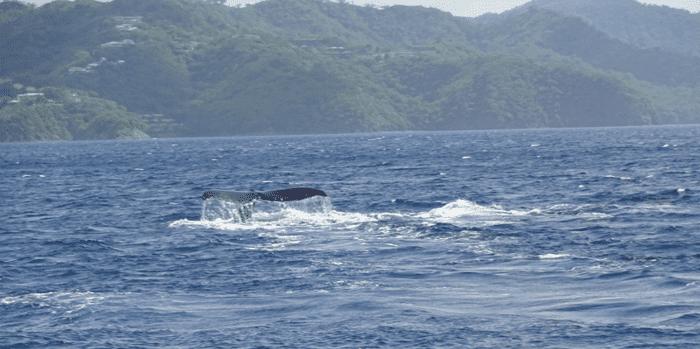 Humpback whale off Playas del Coco, Costa Rica.