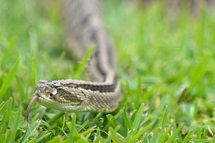 A Central American Neotropical rattlesnake s