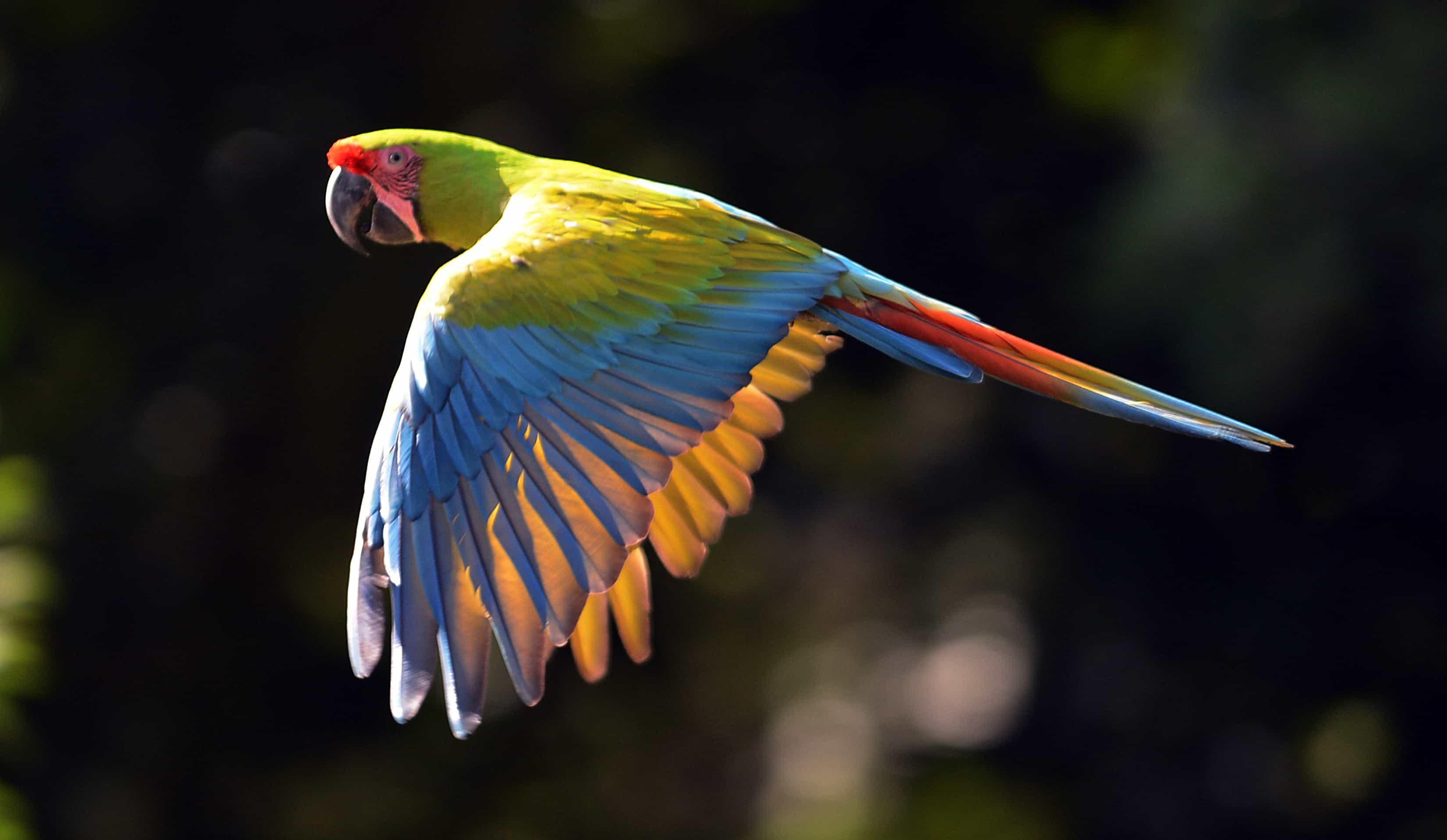 Green macaw.