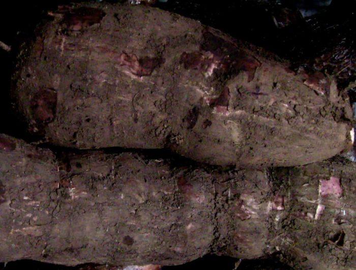 Cassava yuca