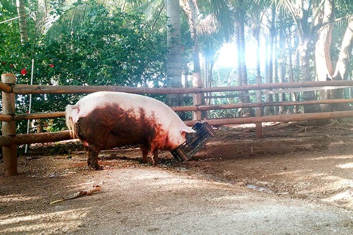 Lolita the surfing pig at Playa Avellana