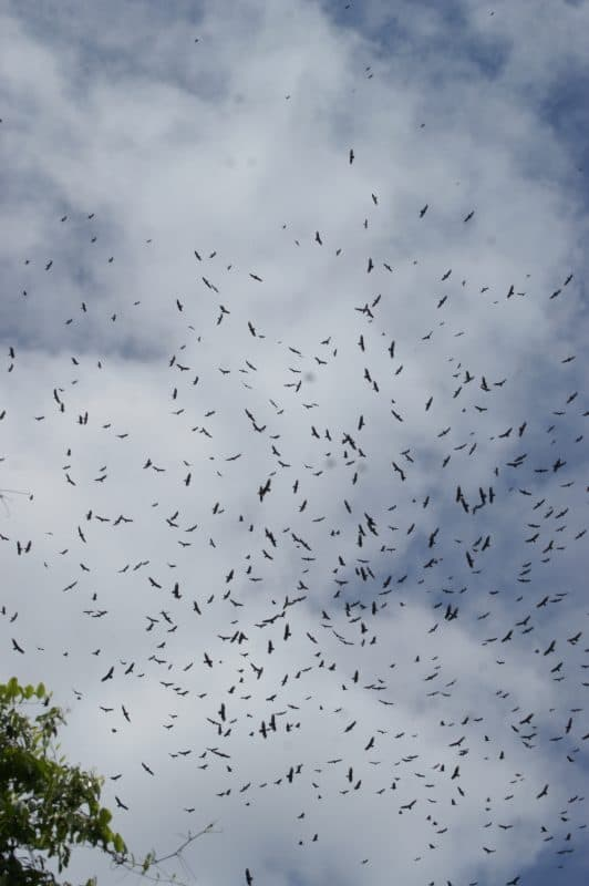 Hundreds of raptors circle on a thermal.