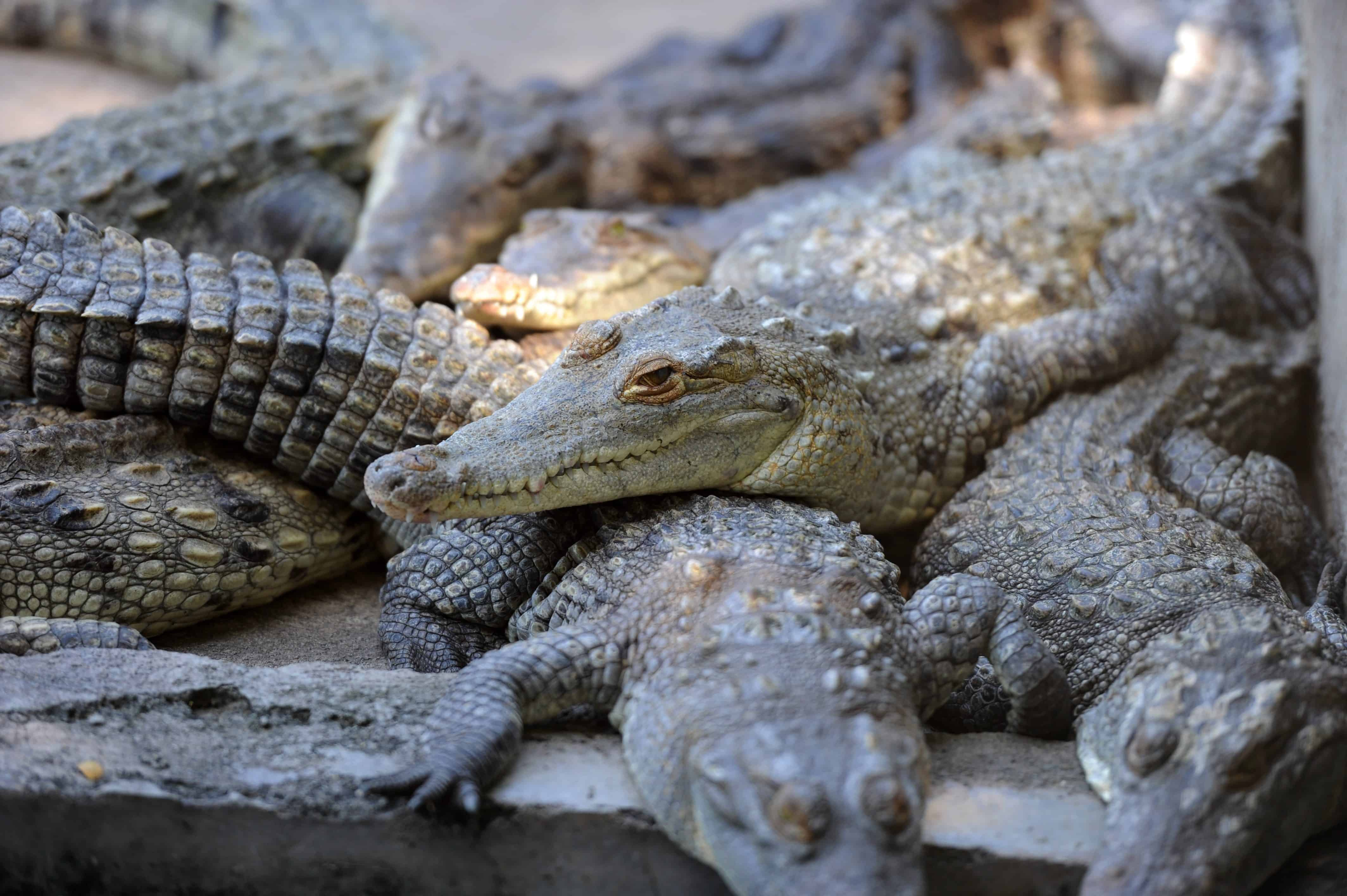 Honduras crocodiles