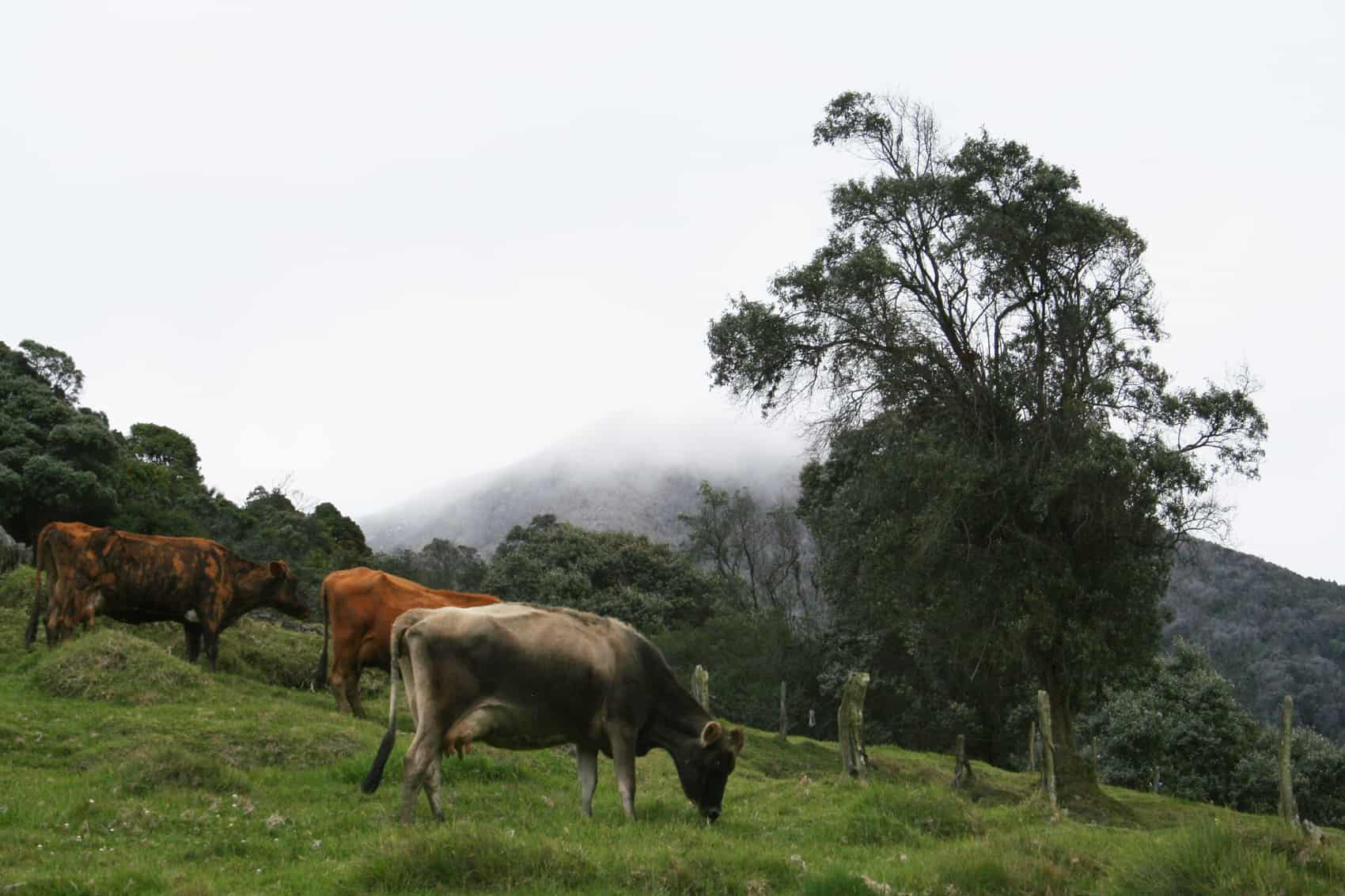 cow grazing near Turrialba Volcano