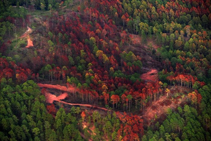 forest in Honduras destroyed by southern pine beetles