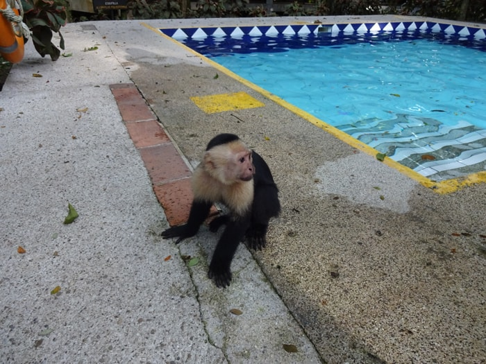 A monkey at poolside.