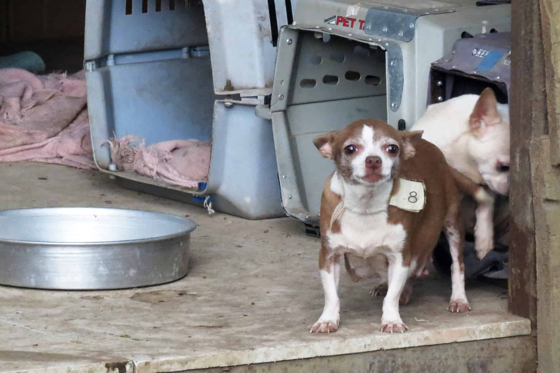 Puppy mill raid in Tres Ríos, on April 17, 2015.