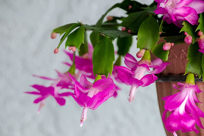 When Do Christmas Cactus Bloom.Give Green In Costa Rica Holiday Gifts That Will Live On