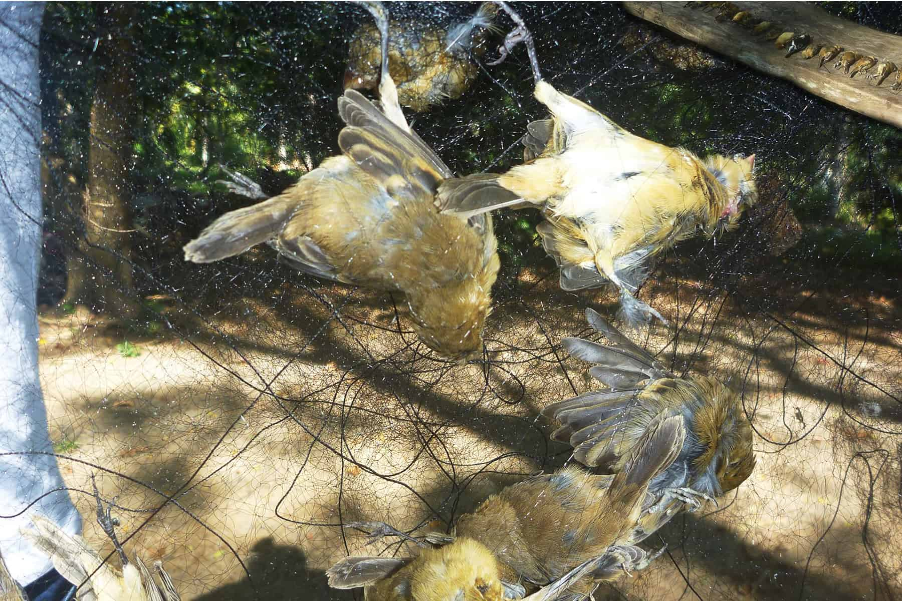 Costa Rica poaching: Birds caught in nets in the central Pacific