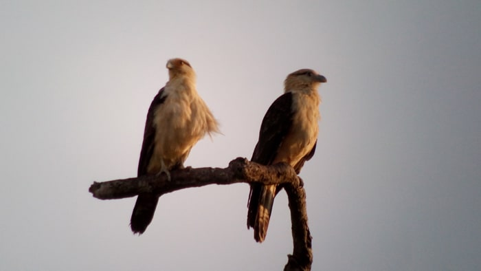 Yellow-headed caracaras.