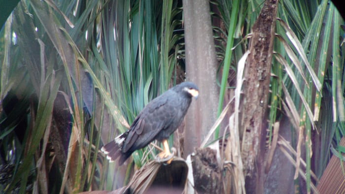 Mangrove black hawk.