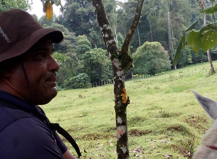 A highly venomous yellow eyelash palm pit viper snoozes on a tree behind horseback tour guide Carlos Mairena at Selva Bananito, Costa Rica.