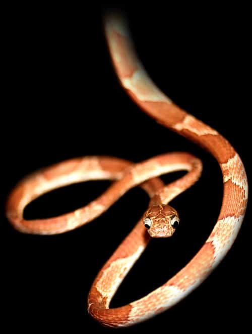 Blunt-headed vine snake (Imantodes cenchoa).