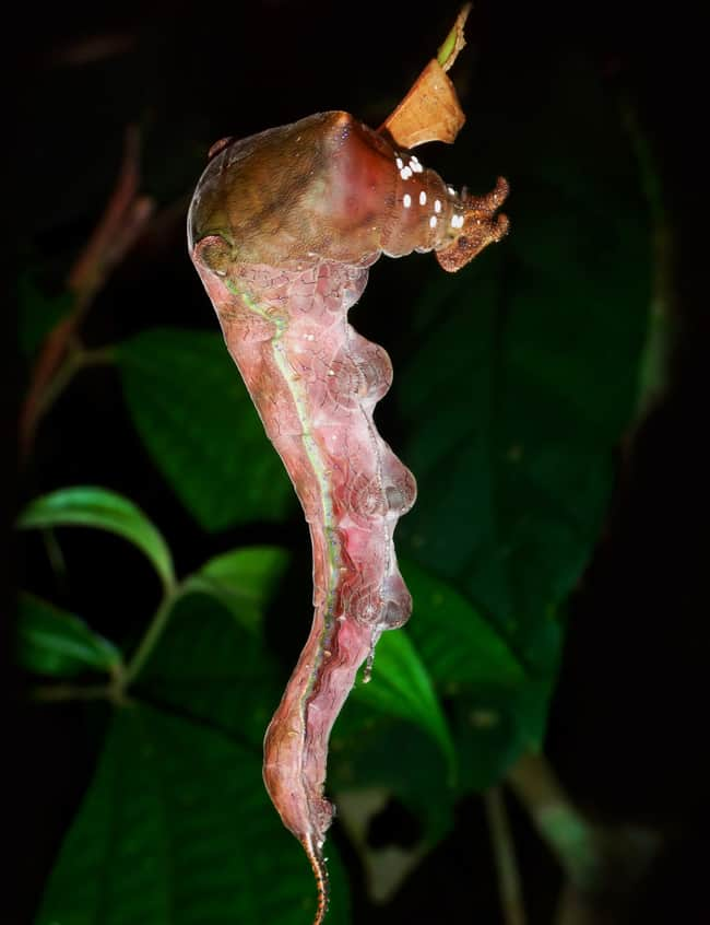 Butterfly Caterpillar (Archaeoprepona demophon centralis).