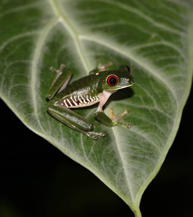 Gaudy leaf frog (Agalychnis callidryas).