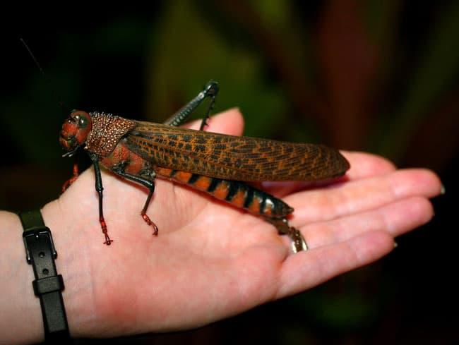 Giant red-winged grasshopper (Tropidacris cristata).