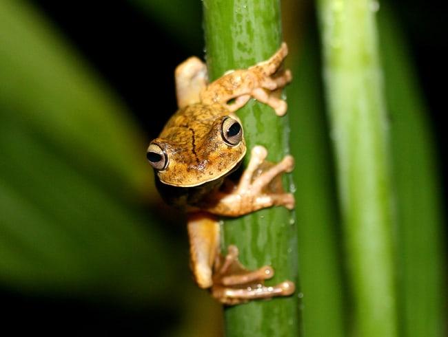 Gladiator tree frog (Hypsiboas rosenbergi).