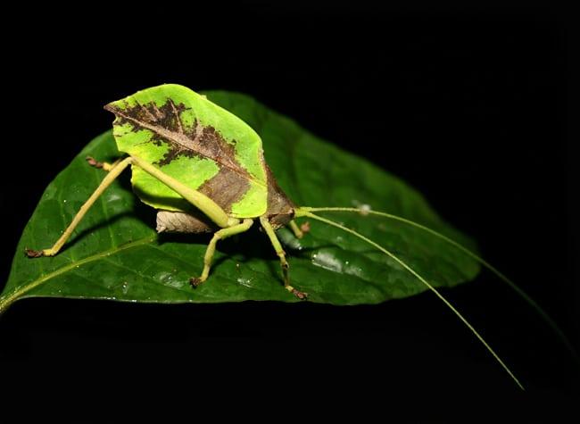 Leaf katydid (Mimetica sp.).